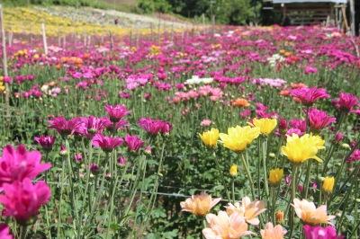 eden tupi, edens flower farm, Edens Flower Farm Tupi, flower farm tupi, flowers, mums, mums flower farm, roses, South Cotabato, tupi south cotabato, travel